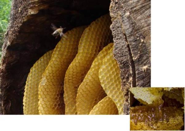 Mật ong hoang dã