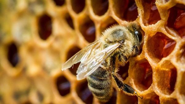 Bee trên tổ ong