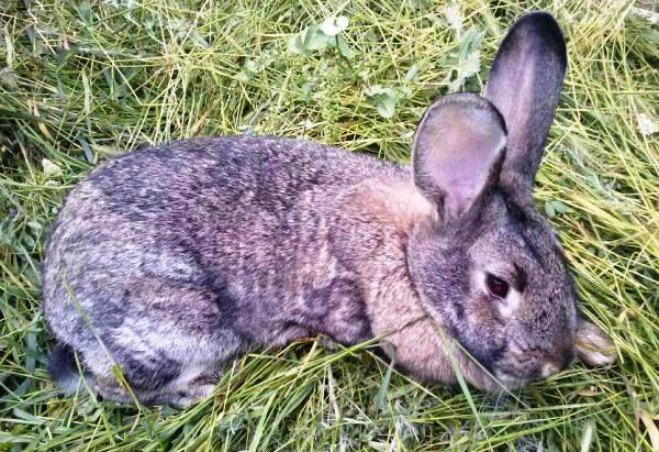 Coccidiosis ở thỏ