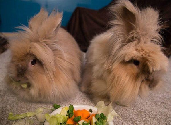 Những gì để nuôi thỏ