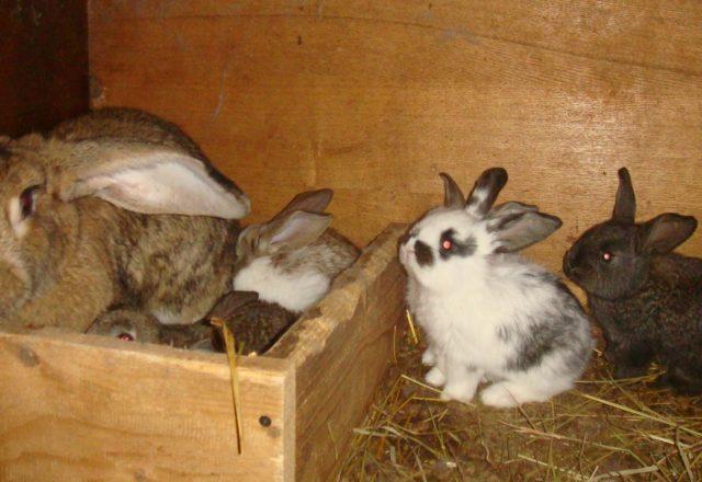 Thỏ mang thai