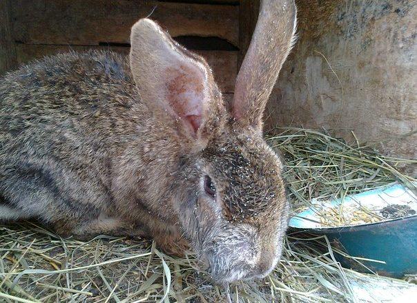Myxomatosis ở thỏ