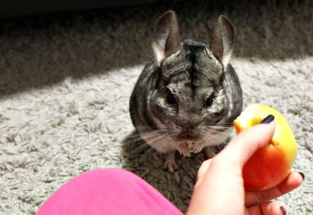 Làm thế nào và những gì để nuôi chinchillas ở nhà