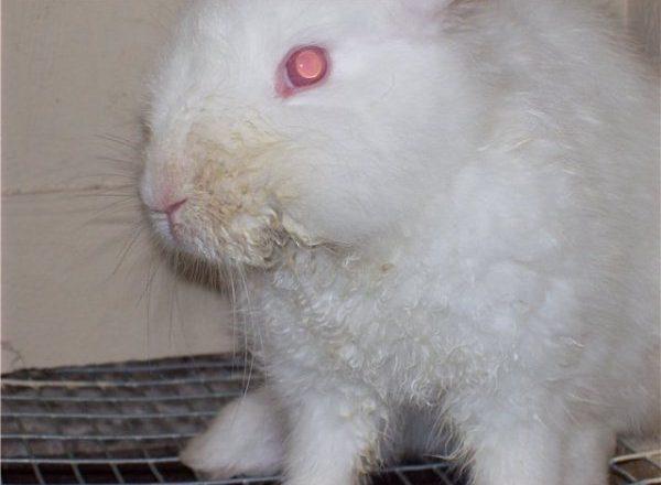 Viêm miệng truyền nhiễm ở thỏ