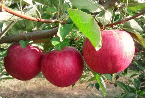 Giống cây táo Vinh quang cho người chiến thắng: đặc điểm mô tả