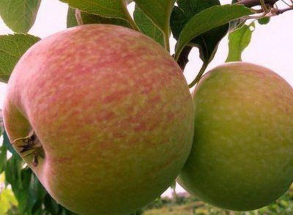Sự đa dạng của cây táo Kẹo: đặc điểm mô tả, quy tắc trồng và chăm sóc