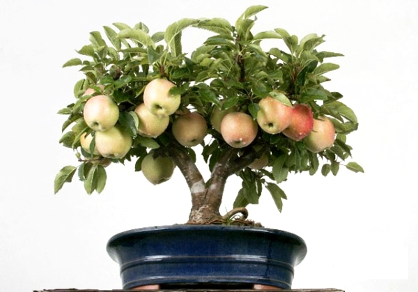 Làm thế nào để trồng một cây táo từ hạt ở nhà: hướng dẫn