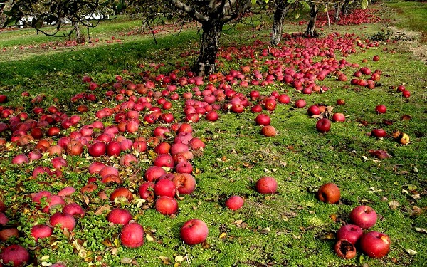 Nguyên nhân của táo rơi