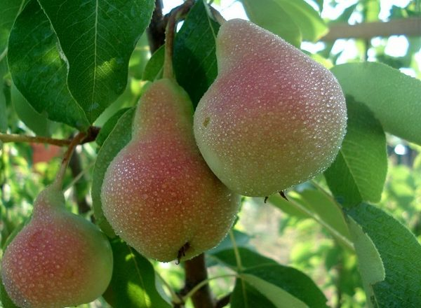 Williams Pear Variety