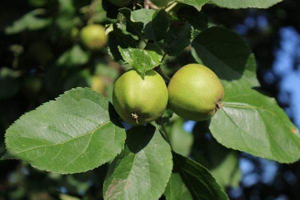 Những gì có thể được thực hiện và làm thế nào để áp dụng táo chưa chín?