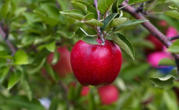 Khi nào và cách trồng táo: các mẹo hữu ích và hướng dẫn từng bước