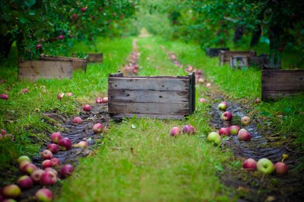 Cách thức và thời điểm thu thập táo để lưu trữ cho mùa đông: mẹo
