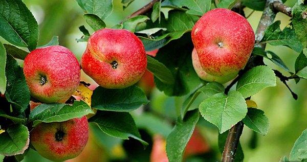 Cây táo Bellefle Trung Quốc