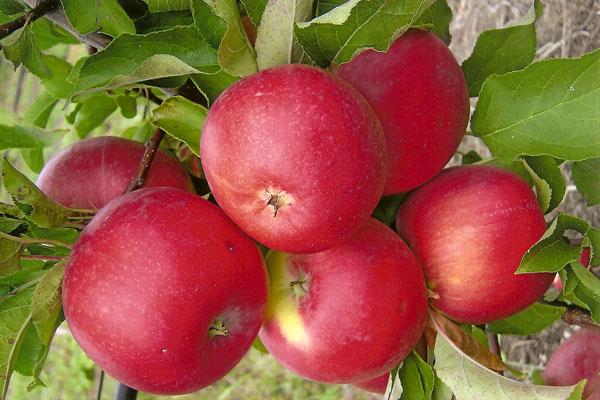 Trái cây của Apple Tree Welsey