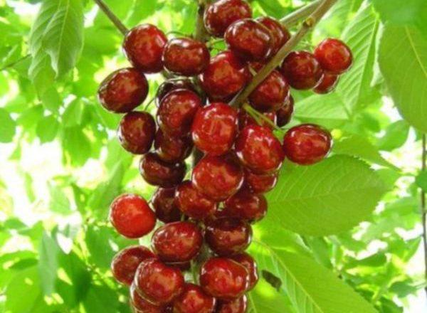 Colony Cherry