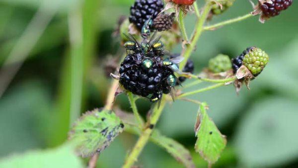 Ruồi trên blackberry