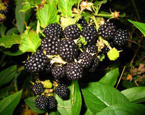 Mang BlackBerry