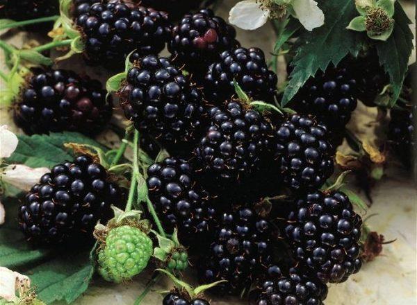 Blackberry giống Chester: mô tả và thông số kỹ thuật, mẹo trồng và chăm sóc