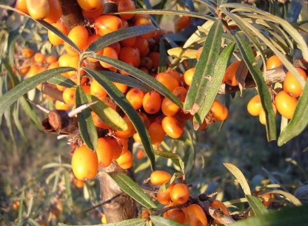 Phương pháp lai tạo cây hắc mai biển, lợi thế và bất lợi của chúng