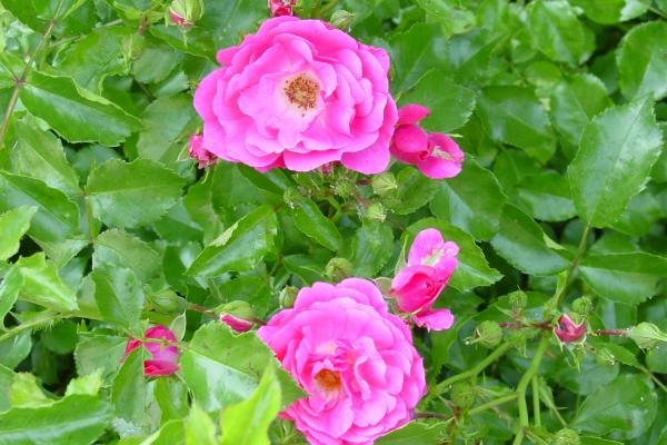 Trồng hoa hồng hoang dã, chăm sóc cây, phương pháp sinh sản