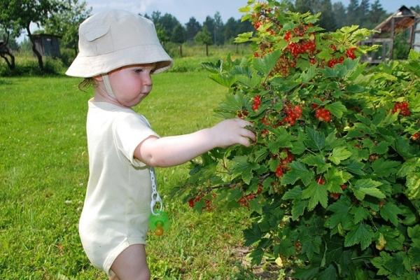 Làm thế nào để chăm sóc cho nho đen, đỏ và trắng sau khi thu hoạch?