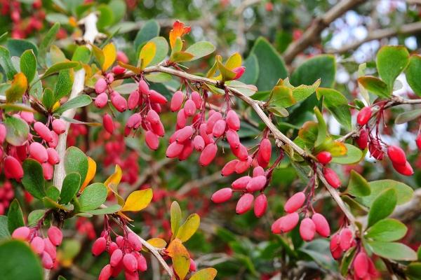 Mô tả thực vật của cây thông thường, tính chất hữu ích, trồng và chăm sóc
