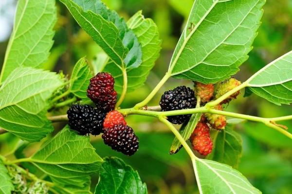 Dâu tằm: đặc tính và đặc tính có lợi của lá và quả