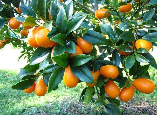 Trái cây nhiệt đới Kumquat