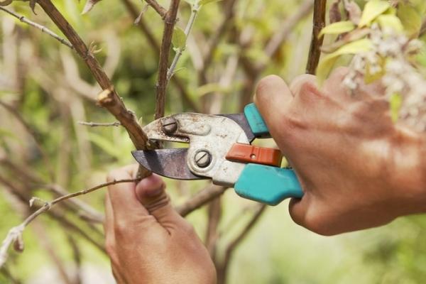 Cắt tỉa cây ăn quả: tại sao cần thiết và khi nào nó được thực hiện?