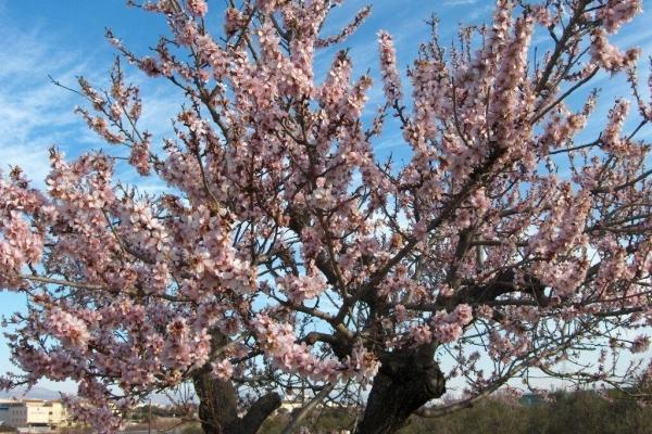 Mô tả cây chi tiết về hạnh nhân, trồng và chăm sóc