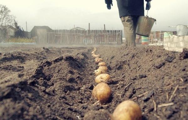 Trồng khoai tây ở vùng Leningrad