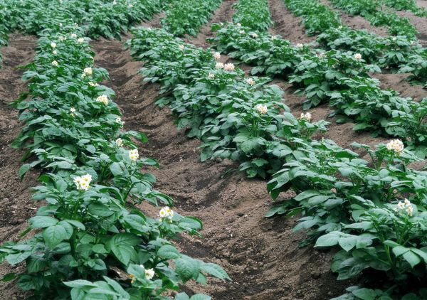 Trồng khoai tây ở rặng núi