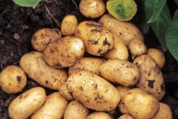 Mô tả và đặc điểm của giống khoai tây Adretta, mẹo trồng và chăm sóc