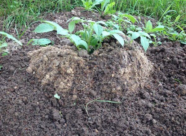 Trồng khoai tây bằng công nghệ Trung Quốc