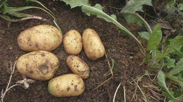Siderates cho khoai tây