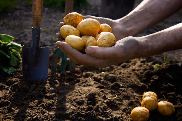 Điều khoản trồng khoai tây