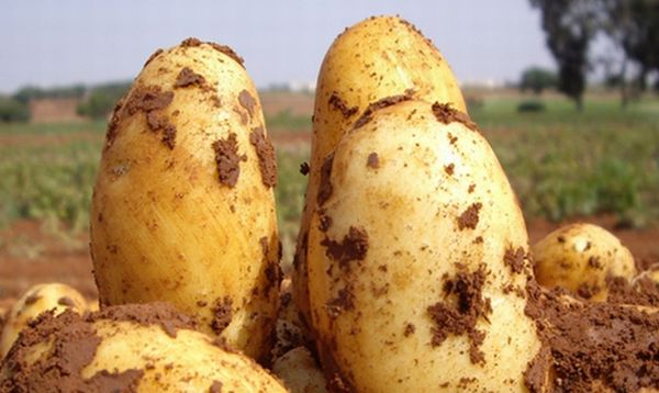 Mô tả giống khoai tây Uladar
