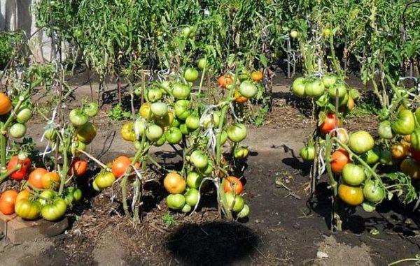 Đừng đột ngột dung nạp cà chua từ bóng râm dưới ánh mặt trời.