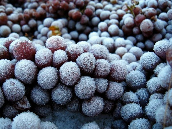Để làm cho quả mọng rượu vang cần phải đóng băng