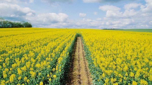 Cải dầu như một siderat thường được trồng trong các cánh đồng