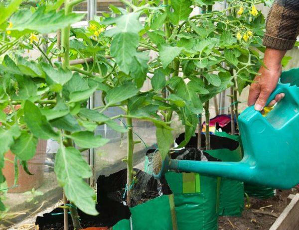 Tưới nước sau khi cấy cà chua