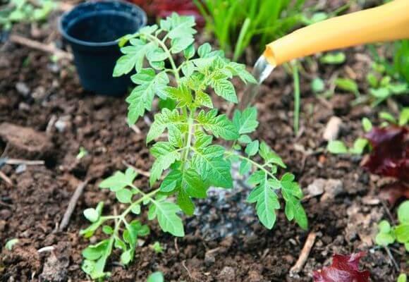 Để cải thiện sự tăng trưởng, bạn có thể tưới cà chua với hỗn hợp phân bón.