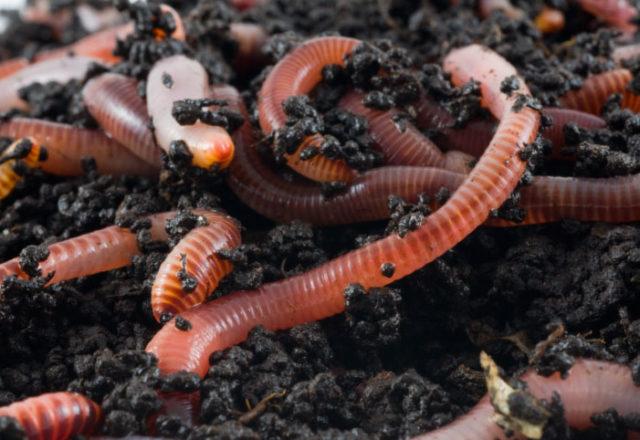 nuôi giun đất ở nhà