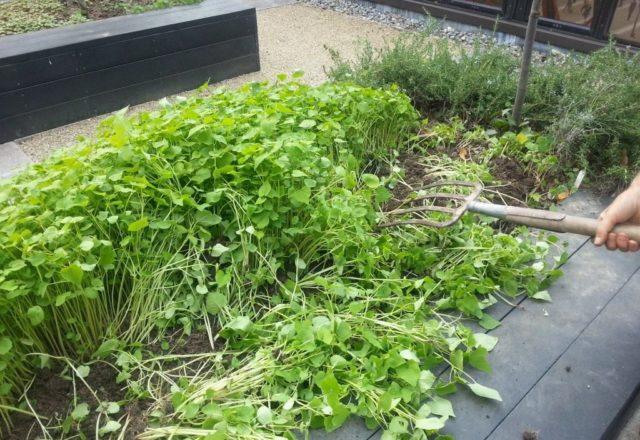 siderata trong vườn