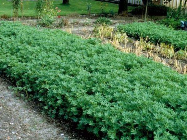 Lupin cắt 1,5 tháng sau khi trồng