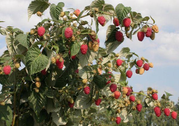 Chăm sóc quả mâm xôi vào mùa thu