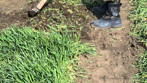 Rye được cắt khi nó đạt đến 15 cm