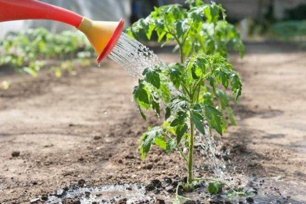 làm thế nào để nuôi cây giống cà chua