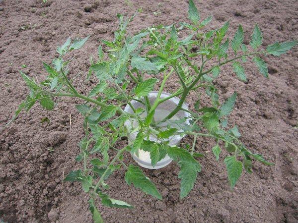 Cây con mọc có thể bị cắt làm đôi và trồng thêm 2 cây con