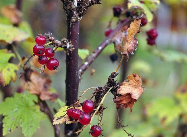 Chăm sóc cho nho vào mùa thu